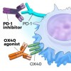 Molecules that block PD-1 (PD-1 inhibitors) or activate OX40 (OX40 agonists) increase T-cell activity, enabling T cells to kill cancer cells.